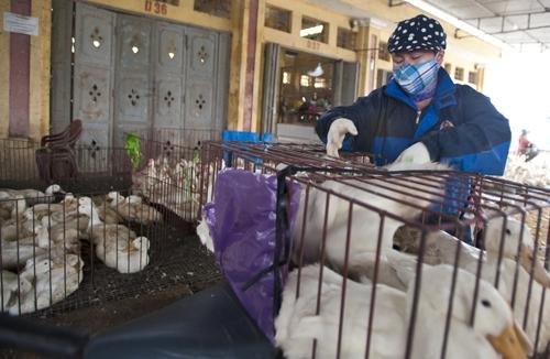 Cúm H5N6 nối dài danh sách cúm gia cầm nguy hiểm cho người
